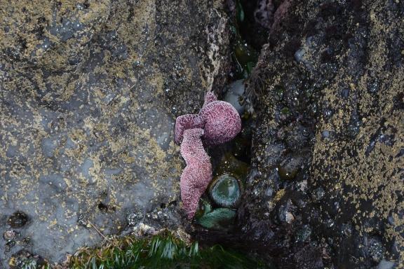 Ochre Sea Star feeding, Giant Green Anemones