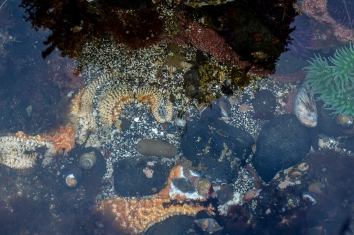 Dire Whelk, Blue Top-snail, Black Turban Snail, Grainhand Hermit Crab Comment from C. Trowbridge:Dire whelks are feeding on an ochre sea star that died of the wasting disease.