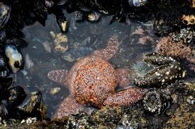 Ochre Sea Star feeding