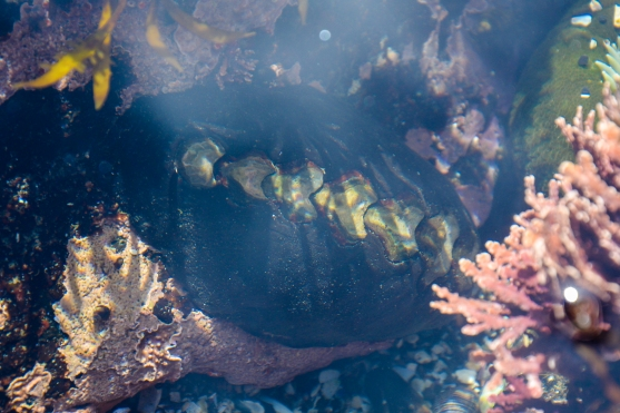 Black Katy Chiton