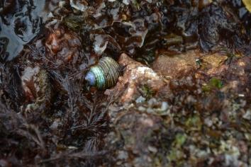 Blue Top Snail