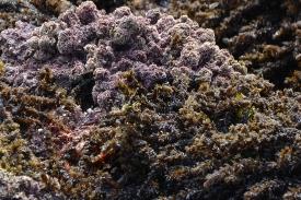Coralline Algae, Black Pine seaweed