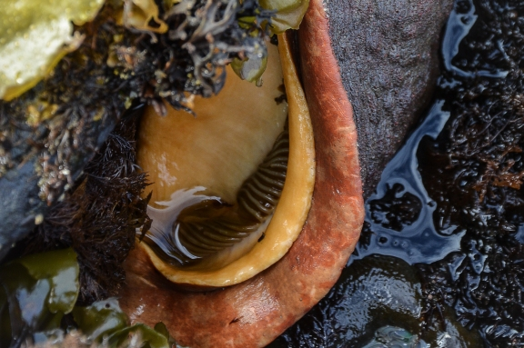 Giant Pacific Chiton,aka, Gumboot Chiton- gills and mantle exposed