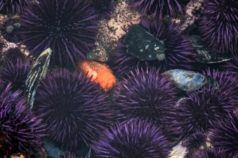 Orange Sea Cucumber amid Purple Urchins, Comment from C. Trowbridge: Anemone is a juvenile brooding anemone. Also, note the fission worms (polychaetes) in the top center.