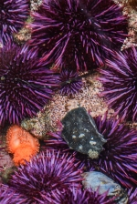 Orange Sea Cucumber amid Purple Urchins, juvenile Brooding Anemone