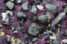 Purple Urchins- pulling up covers of rocks for shielding from the sun