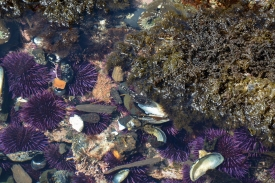 Stumped? Look near the Encrusted Coralline algae