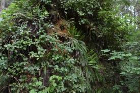 Salal/ Licorice Fern (Polypodium)