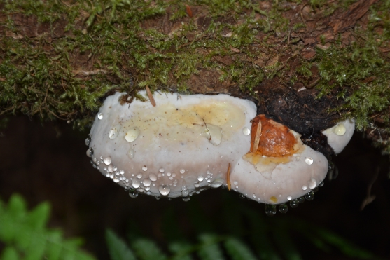 1-Fungus