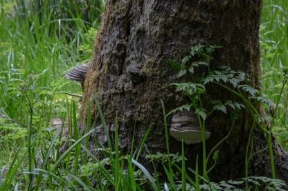 5-Shelf Fungus