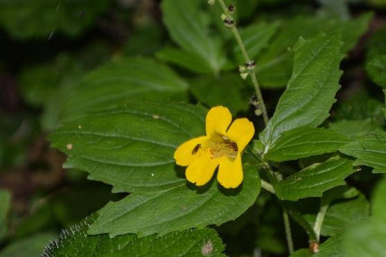 Yellow Monkey Flower