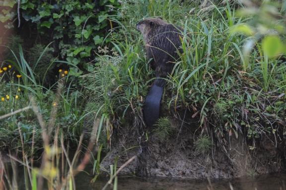 Beaver strikes a pose
