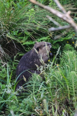 Beaver out for evening snack