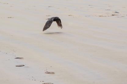 Raven on the beach