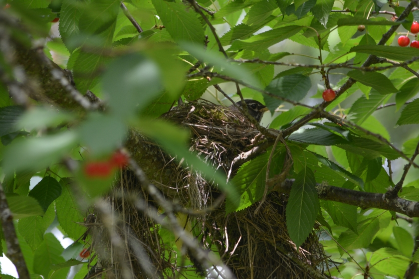 American Robin At home in a tree full of cherries!