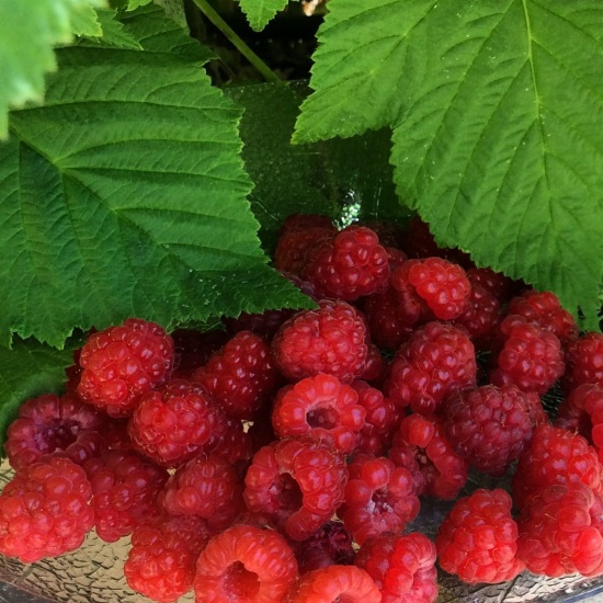 Raspberries- fresh picked
