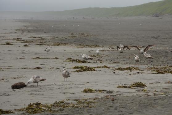 Immature California Gulls