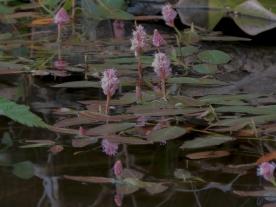 Water Smartweed