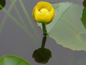 Yellow Pond Lily, Spatterdock