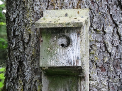 Hole in one! Hornet nest in bird house