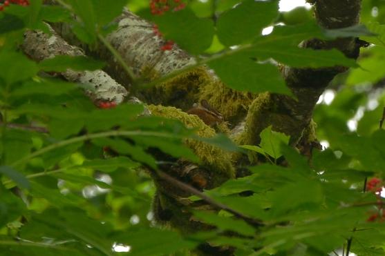 Chipmunk gathering moss