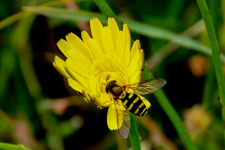Hoverfly- pollinator and eater of aphids