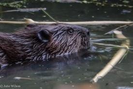 2nd_beaver_c