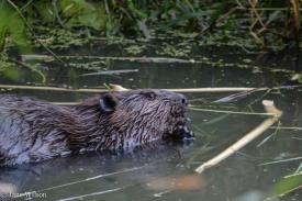 2nd_beaver_f