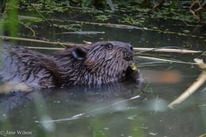 2nd_beaver_g