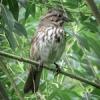 6-05-26-13_b_song_sparrow_c