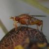 Tetanocera ferruginea_2