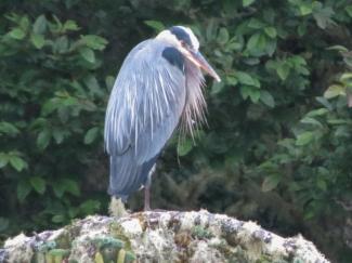 6-24-14 One-legged Heron_Coffenbury_Lake