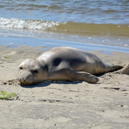 07-30-14-harbor_seal_2JPG copy