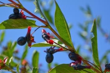 Black_Twinberry_fruit