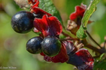 Black_Twinberry_fruit_closeup