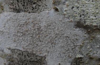 Crustose Lichen apothecia