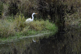 10-29-14_b_Great_Egret_c