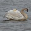 02-14-14_b_tundra_swan_fernhill_4