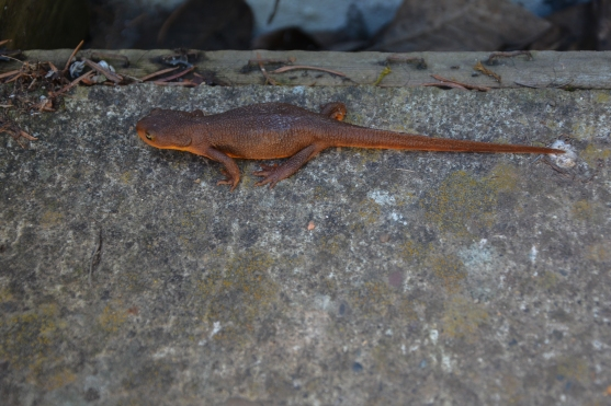 03-03-14_amp_rough-skinned_newt_4