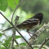 05-10-13_b_spotted_towhee_a