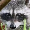 05-17-13_mam_raccoon_d