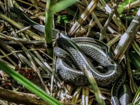 05-19-13_rep_western_terrestrial_garter_snake_b