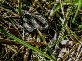 05-19-13_rep_western_terrestrial_garter_snake_c