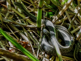 05-19-13_rep_western_terrestrial_garter_snake_d