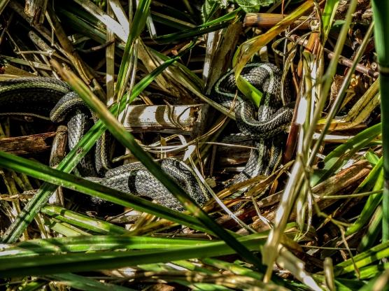 05-19-13_rep_western_terrestrial_garter_snake_e