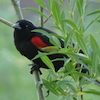 06-08-13_b_redwinged_blackbird_f