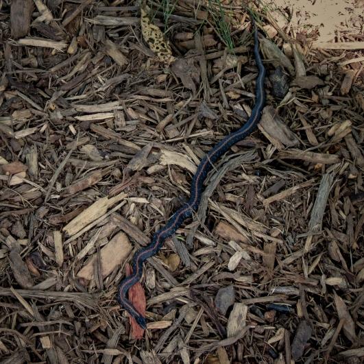 06-15-13_rep_northwestern_garter_snake_a