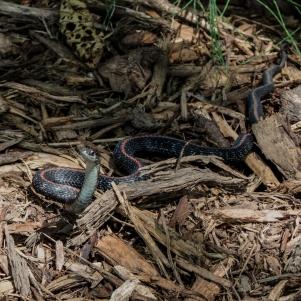 06-15-13_rep_northwestern_garter_snake_d