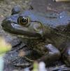 07-04-13_amp_invasive_american_bullfrog_a 2
