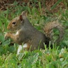 07-16-13_mam_eastern_gray_squirrel_b
